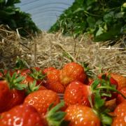 Strawberry Week - Cairnie Fruit Farm